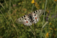 Van bergapollo (Parnassius Apollo) de vlinder Royalty-vrije Stock Foto
