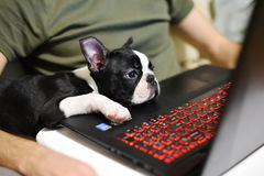 IT van Boston Terrier Stock Afbeelding