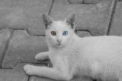 Van Cat Stock Photos