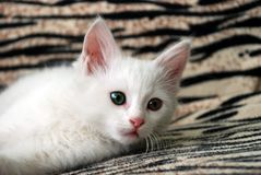 Van cat kittens Royalty Free Stock Images