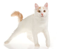 Van cat turco crema su priorità bassa bianca immagini stock libere da diritti