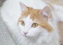 Van Cat turco - felis catus fotografie stock libere da diritti