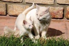 Van cats, mère et son chaton images libres de droits