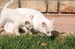 Van cats, mère et son chaton photographie stock