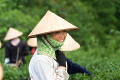 Van Chan, Vietnam - Sep 18, 2016: Portrait of female tea picker in tea plantation.  Royalty Free Stock Image