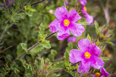 Van Cistuscrispus (Crispus Rockrose) de roze wilde bloemen Royalty-vrije Stock Afbeeldingen
