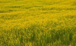Van Crotalariajuncea of Sunn de gebieden van hennepbloemen royalty-vrije stock afbeeldingen