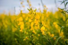 Van Crotalariajuncea of Sunn de gebieden van hennepbloemen stock foto