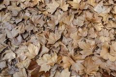 Van de achtergrond herfstbladeren textuur Het Type van esdoornblad Royalty-vrije Stock Fotografie