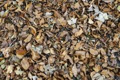 Van de achtergrond herfstbladeren textuur Het Type van esdoornblad Royalty-vrije Stock Foto's