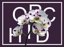 Van van de Achtergrond phalaenopsisorchidee roze geelgroene de stamtypografie onsamenhangende tekst witte bladbloesems royalty-vrije stock foto
