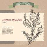 Van de akathee van Melaleucaalternifolia de boomschets royalty-vrije illustratie