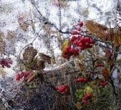 van de bezinningsviburnum van het ijsglas van de de bessenherfst rood de bladerenclose-up Stock Afbeelding