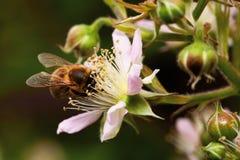 Van de bijenringen van de honing de bloemnectar Stock Foto