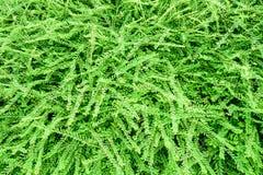 Van de bladeren Groene varen textuur als achtergrond Stock Afbeeldingen