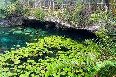 Van de de Bladerenwaterspiegel van Cenote nicte-Ha het Groene Schiereiland van Tulum Mexico Yucatan stock afbeeldingen