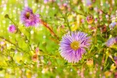 Van de de bloemenchrysant van Proton purper r modern ontwerp als achtergrond royalty-vrije stock foto's