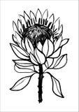 Van de de bloemillustratie van inkt de hand getrokken protea Zwart-witte grafiek stock illustratie