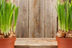 Van de bollenknoppen van bloemengele narcissen potten twee de lente het tuinieren Royalty-vrije Stock Foto's
