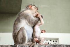 Van de bonnet macaques moeder en baby het spelen stock foto's