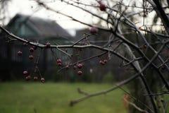 van de de boomtak van de dorpsherfst de rode bes Royalty-vrije Stock Fotografie