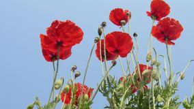 van de de bostuin van de papaverbloem de rode knoppen met mooie blauwe hemelwolk Stock Fotografie