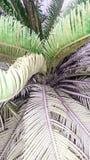 Van de canariensispalm van Phoenix de bloempatroon Stock Fotografie