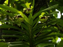 Van de cristata mooie orchidee van Vanda de close-upbloem met bladeren royalty-vrije stock foto