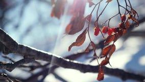 Van de de bessenwinter van de lijsterbessentak rode mooie de aardsneeuw op een blauwe achtergrond met de gevolgen van de lenseglo stock video