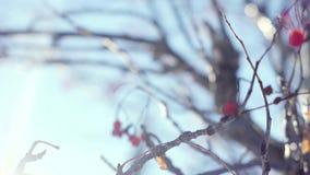 Van de de bessenwinter van de lijsterbessentak rode mooie de aardsneeuw op een blauwe achtergrond met de gevolgen van de lenseglo stock videobeelden