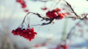 Van de de bessenwinter van de lijsterbessentak rode mooie de aardsneeuw op een blauwe achtergrond met de gevolgen van de lenseglo stock footage