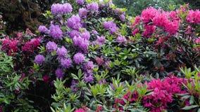 Van de de bloesemtuin van Rododendronbloemen de het parklente Stock Foto's