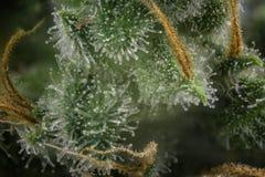 Van de de brandkreek van de cannabisknop macro de marihuanaspanning met zichtbaar Ha Stock Afbeeldingen