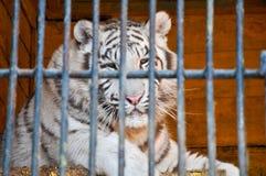 Van de de celkooi van dierentuindieren van de de tijgerleeuw de gevangenisgevangene Stock Afbeelding