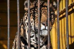 Van de de celkooi van dierentuindieren van de de tijgerleeuw de gevangenisvrijheid Stock Fotografie