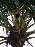 Van de de drankalcohol van de kokosnotenbloem van todimaleisië de speciale drank Stock Foto's