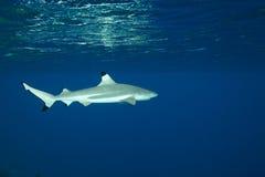 Van de de ertsaderhaai van Blacktip melanopterus van Carcharhinus Stock Afbeeldingen