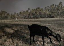 Van de de geitpadie van Malabarkerala de het gebieds droge zomer die gras eten Royalty-vrije Stock Afbeelding