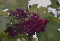 van de de herfstlijsterbes van het viburnumgebladerte planten de verse de bladeren gezonde vruchten van het de besfruit van de la Stock Fotografie