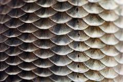 Van de de huidtextuur van vissenschalen de macromening De geometrische karper Carassius van Crucian van de patroonfoto geschubd m Stock Foto