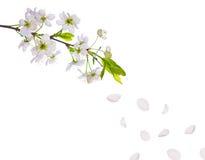Van de de kersenboom van de lente de bloemen en de bloemblaadjes Royalty-vrije Stock Fotografie