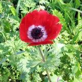 Van de de Kroonanemoon van Ramatgan park de rode bloem 2007 Stock Afbeelding