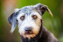Van de de Kruisingshond van portretterrier de Groene Achtergrond Stock Foto