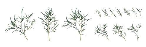 Van de de ontwerperkunst van de eucalyptuswilg verschillende het gebladerte natuurlijke br stock illustratie