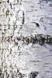Van de de oppervlaktetextuur van de zilverberkschors het portretrichtlijn Stock Fotografie