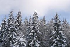 Van de de pijnboomboom van de winter de bosrand. Stock Foto's