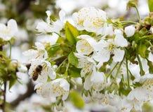 Van de de takknop van de kersenboom de bloesemachtergrond als mooi de lentebloem het bloeien seizoenconcept stock afbeelding