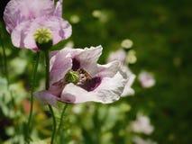 van de de tuin de groene kleur van het de zomerzonlicht papaver van de aardbloemen Royalty-vrije Stock Afbeelding