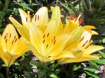 Van de de Tuin de oranje lelie van Toronto bloem 2014 Royalty-vrije Stock Foto's