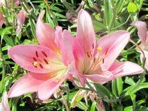 Van de de Tuin de Unieke lelie van Toronto bloem 2014 Stock Foto